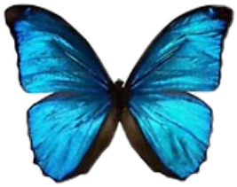 freetoedit butterfly butterflies blue bluebutterfly pretty girly sticker vsco aesthetic blueaesthetic beautiful beautifulbutterfly