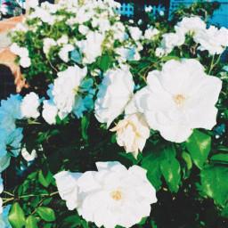 roses flowers floral white green nature earth planetearth vegan veganism iphone photography portraitmode socal newportbeach orangecounty california