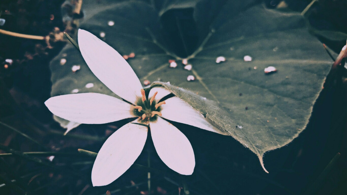 #freetoedit #flower #leaf #summer #white #mycam #photography  #photoshoot  #myphonegraphy  #filtered  #picsart  @picsart