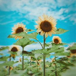 wednesday heypicsart replay school sunset makeawesome september galaxy inspration artisticselfie floral peace picsart sunflower tag tagforlikes follow picsartedit f4f followforfollow followme goodmorning hello hellopicsart freetoedit