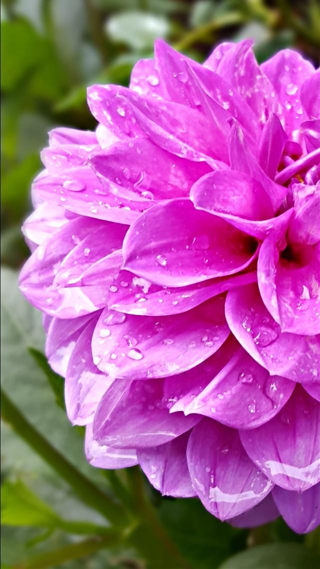 #bunia0914 #myphoto #myoriginalphoto #myclick #naturephotography #garden #mygarden #summer #garden #mygarden #summer #summertime #nature #plant #plants #flowers #dahlia #green #pink #pinkflower #beautifulday #happyday