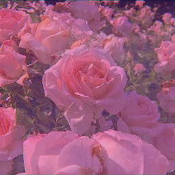 wallpapers wallpaper rose roses rosefield flowers aesthetic nature aestheticpicture