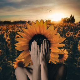 surreal girasol sunflower fauspre madewithpicsart madebyme freetoedit