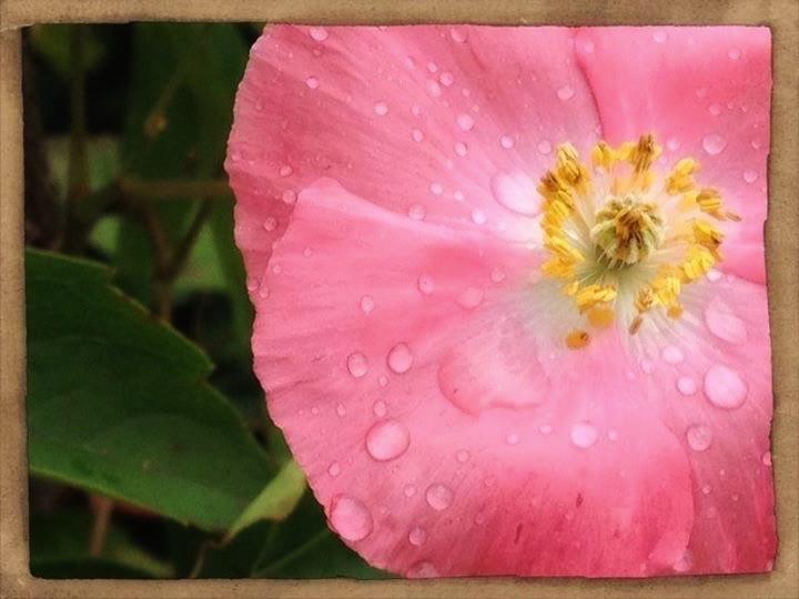 #PicsArt #fleur #fleurs #flower #flowers #couleur #couleurs #color #colors #rose #pink #photographie #photography #passion