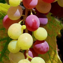myphotography nature colors grape september autumn