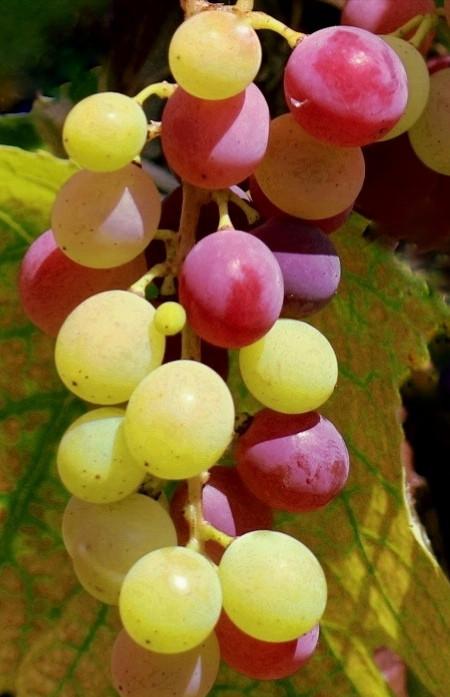 I colori della natura #myphotography #nature #colors #grape #september #autumn