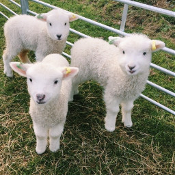 sheep lamb lambs sheeps awww baby animal animals cutie cuties babies aesthetic asthetic cuteee
