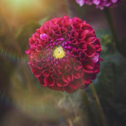 freetoedit flower nature red naturelover sunflare
