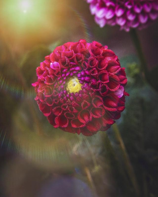 ❤🌸💫 #freetoedit #flower #nature #red #naturelover #sunflare