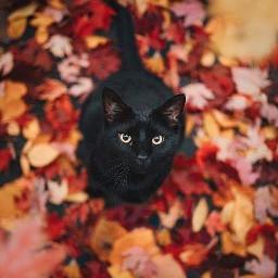 halloween orange fall color vintage aesthetic october challenge cat black blackcat cute viral famous trending trend zoe avani charli addison autumnflatlay