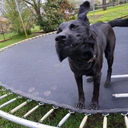 mypet cutie slobbery dog lab pcmypetsbestportrait mypetsbestportrait