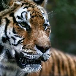 petsandanimals picsoftheday tiger e-go e