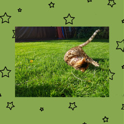 kitten cat bengalcat freetoedit