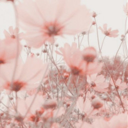 soft softie roses flowers softroses aestheticroses softflowers aestheticflowers field fieldofflowers softpink gray
