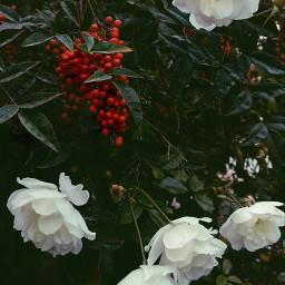 flower rose filmeffect naturephotography
