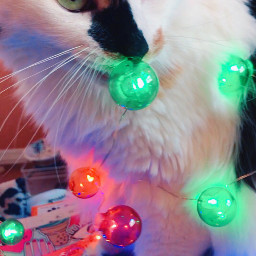 freetoedit misothecat calico cat christmas christmaslights ohno freetoeditbutgivemecredit