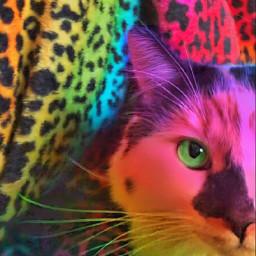 misothecat themishow freetoeditbutgivemecredit ilovemycat ifuckinglovemycat rainbowcat neon cat calico leopardprint rainbow freetoedit