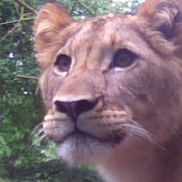 animaux lion tigre zoo