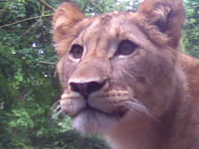 #animaux #lion #tigre #zoo