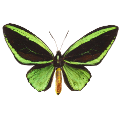 butterfly birdwingbutterfly insect bug arthropod bugs insects green black cottagecore greenbutterfly shiny freetoedit