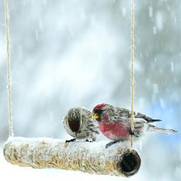 sizerinsflammés femelle mâle neige hiver commonredpool birds letitsnow winter
