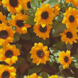sunflowersgalore backrounds freetoedit