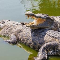crocodile crocodiles animal animals wildlife nature water ninahayess freetoedit