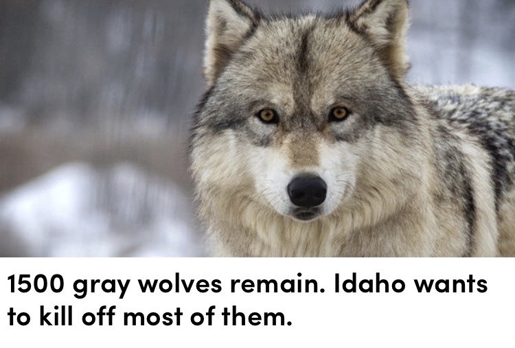 ❗️LOOK❗️ So, Idaho has really been hurting the wolves. The wolves are a very important part of Idaho, because they hunt the deer thay live there. The wolves that live there should not be hunted for any reason, they should live happily! Please, sign this petition to help them!!   https://www.thepetitionsite.com/867/896/043/?src=ar_facebook_ads&campaign=sign_867896043-23847875847920452&fbclid=IwAR0uW_R39JqCeEfaMyXx2TOy4l7ExKZ5gu0bSe8_y-e7N51xbTUypEVUlHU  I know it's a lot to type in, but it's all for the wolves! (I'll also try to put it in the comments)  If you can't sign the petition, it would be really helpful if you shared it to others, so they have a chance to sign it!  Also, one of my friends, @wolflife1516 has another petition about wolves, you can sign that too if you would like (I already did).     🐾 Welcome to the wolf pack! 🐾  ☾ ☾ ☾ ☾ ☾ ☾ ☾ ☾ ☾ ☾ ☾ ☾ ☾ ☾ ☾ ☾ ☾ ☾ ☾  🐺🐺🐺🐺🐺🐺🐺🐺🐺🐺🐺🐺🐺🐺🐺                                         🌑🌒🌓🌔🌕🌖🌗🌘🌑  My name: Wolfy  About me: I'm a wolf therian, and I love wolves  Theriotype: Grey Wolf 🐺 Pronouns: She/her Mood: 🥺🐺❤️ Favorite colors: Blue and light grey Favorite animal: The Wolf ❤️   Wolf of the day: @wolflife1516   Meet the wolf pack: 🐺 @slothlover1123 🦥 🐺 @awh-lxvlyy 🦖 🐺 @burn1ng_fl4re 😎 🐺 @midnightwolfavantisf 🐺 🐺 @goldenluvv  🐺 @_paradigm_ 🍓 🐺 @0nuggetforever0 🐺 @p_i_c_s__a_r_t_   🐺 @phibs11 🍩 🐺 @fussy_frankie 🐺 @endo_the_raptor 🐺 @alxxsxul ✨ 🐺 @foxoryx_official 🐺 @disnxy77 🐺 @deer_2021 🦌 🐺 @xfluffywolfiex 🐺 🐺 @fcirybae 🦙   🐺 @sweetpotatounicorn5 🥔 🐺 @gecko-lover123 🐺 @therian4life 🐺 @glcssylqvender 🌝 🐺 @piggythebrave 🐺 @the_lost_herondale 🐺 @fionanicole12 🐺 @__positivity__ 🐺 @peanutbutterwolfcups 🐺 @-solar-therian- 🐺🦊🐈⬛ 🐺 @feenex-drawz 🐺 @picsfor_everyone 🐺 @lionguardlover321 🦁 🐺 @avantisf-w1tchcr4ft 🐺 @carolina_editz- 🐺 @artedits_50 🐺 @reno_runaway1 🐴 🐺 @the_demon_onyour_doorstep 😈 🐺 @eloquence- 🐺 @fluffy_fire_catz 🐺 @-perfectmistakes- 🐺 @rara_75 🐺 @fynnwolf 🐺 @josyxxx279 🐺 @malicah_wolfy 🐺 🐺 @ariana_vibes_grande 🐺 @wolfgi
