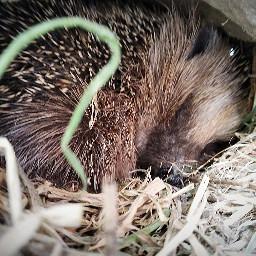 hedgehog cutehedgehog cute hedgehogonmygarden pcpetsofpicsart2021 petsofpicsart2021
