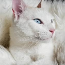 mycat whitecat pcpetsofpicsart2021 petsofpicsart2021