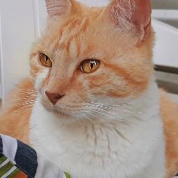 cats catlover catsofpicsart gingercat