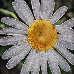 myphotography mygarden daisies freetoedit