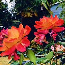 freetoedit backyard rosesarebeautiful