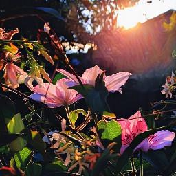 sunrise backyard clamatis