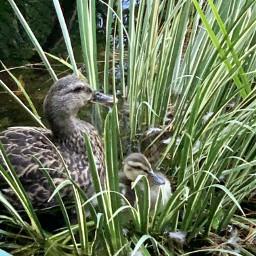 koipond ducks momandchester