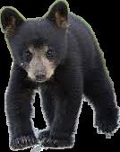 bear blackbear cuddly animal black nature freetoedit local