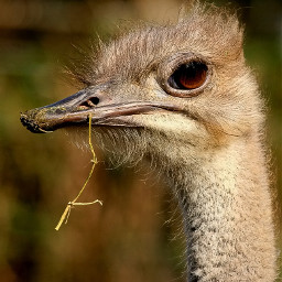 freetoedit ostrich