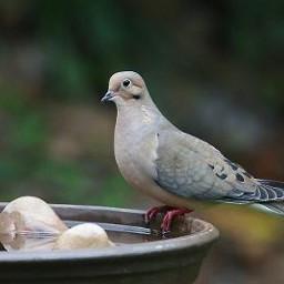 freetoedit pigeon