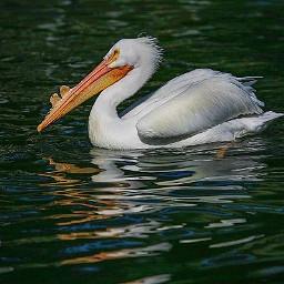 freetoedit pelican